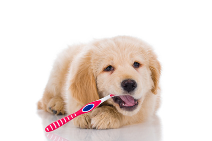 golden retriever puppy with toothbrush