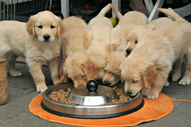A litter of Golden Retriever puppies eating from a circular, shared food dish