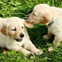 Golden Retriever puppies playing