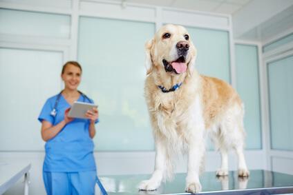 Golden Retriever on veterinary exam table