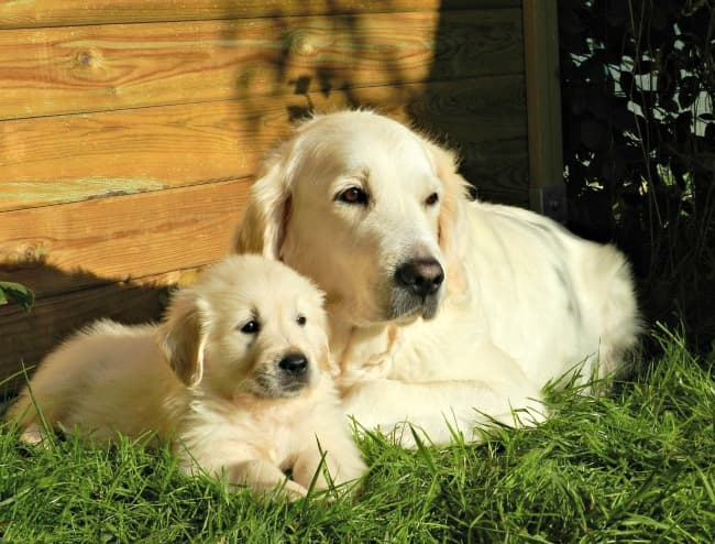 Adult Golden Retriever with puppy