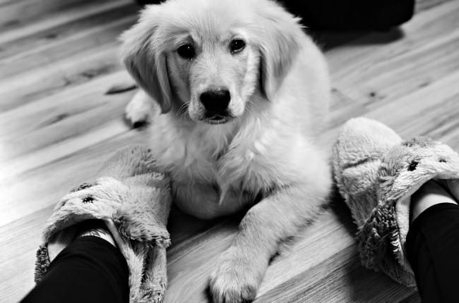 Golden Retriever puppy next to slippers on owners feet. Black and white photo.