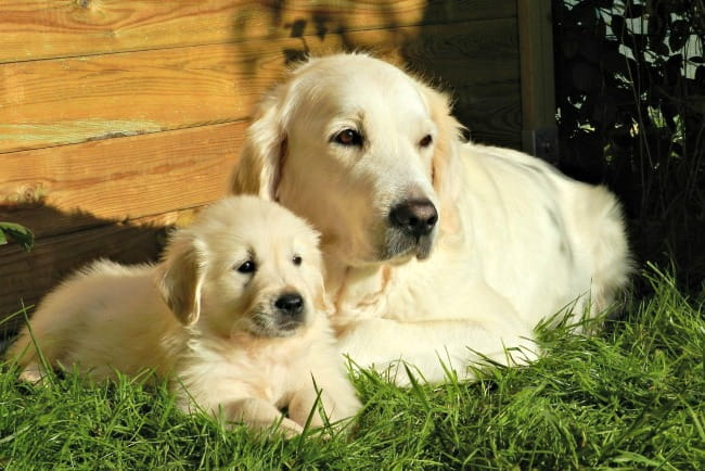 Golden Retriever mom with her puppy