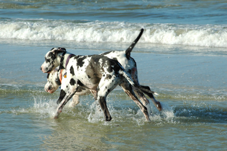 Two Great Danes exercising on the beach
