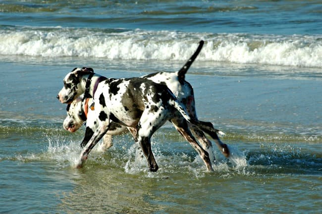 Two adult Great Dane dogs playing in the waves by the beach