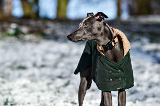 Greyhound wearing winter coat on snowy day