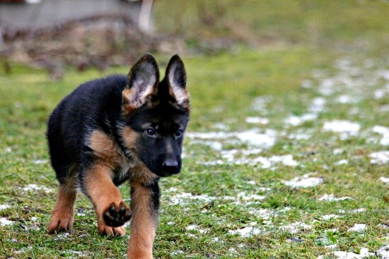German Shepherd puppy training session