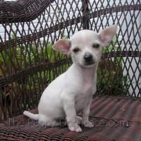 White chihuahua puppy Hanse