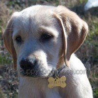 yellow labrador retriever puppy Harpe