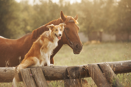 Horse and herding dog