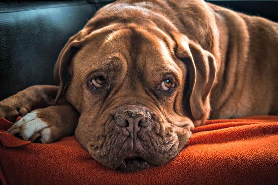 Older Dog de Bordeaux