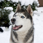 Alaskan Dog Names And Their Meanings