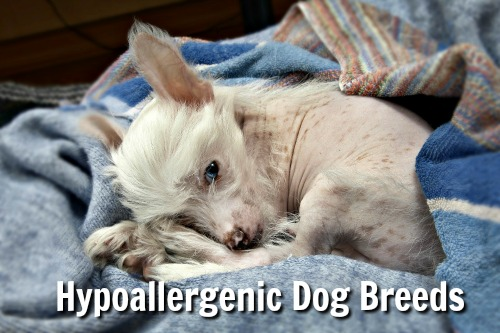 Hypoallergenic dogs. Chinese Crested puppy.
