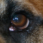 Close up of his eye 2 wks post surgery