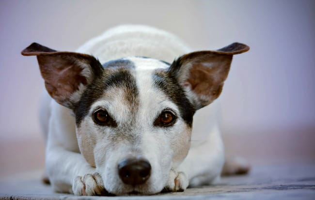 Jack Russell Terrier lying down and looking into the camera