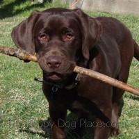 chocolate lab puppy jackson