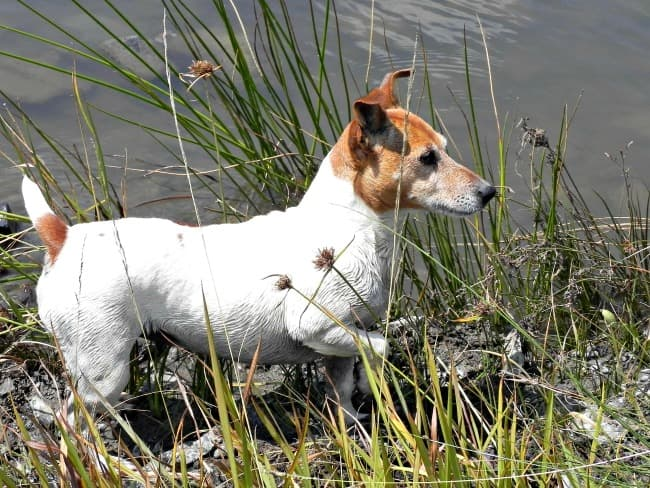 Jack Russell Terrier by the lake
