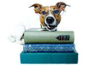 jack russel terrier with book