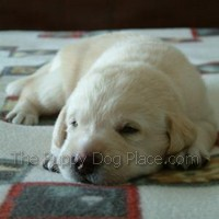 yellow lab puppy Kelsey