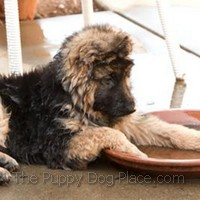 Khi - long-coated German Shepherd puppy