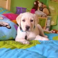 cream lab puppy kira