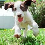 Energetic Springer Spaniel pup