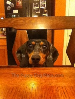 Knox the Dachshund waiting for dinner!