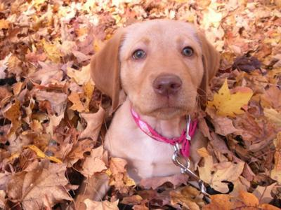 Labrador puppy in Fall leaves