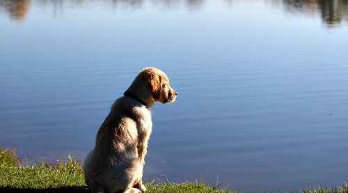 Yellow Labrador Retriever puppy by the lake