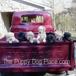 photo of lab puppies in pickup truck