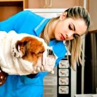 Veterinarian examining adult English Bulldog