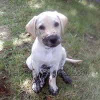 Lainee the lab pup is mudd