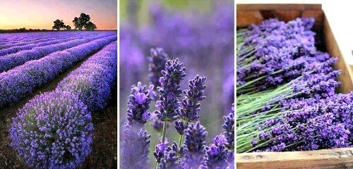 Lavender for dog travel anxiety