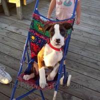 Boxer Layla loves her stroller