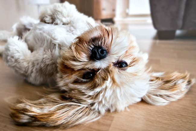 Lhasa Apso dog lying on it's back and looking at the camera