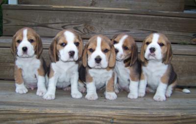 litter of Beagle puppies