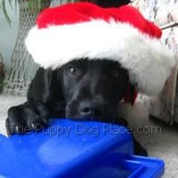 SantaLuca the black lab puppy