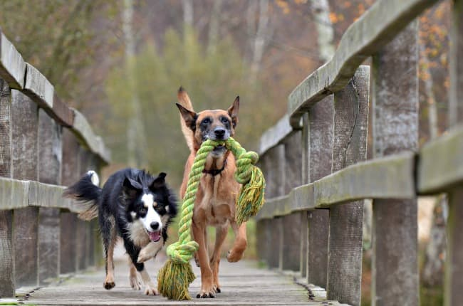 Two happy, healthy dogs playing as they run across a bridge