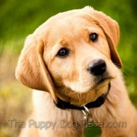 Maya a fox-red lab puppy