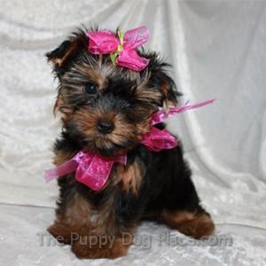 Yorkie puppy Mia