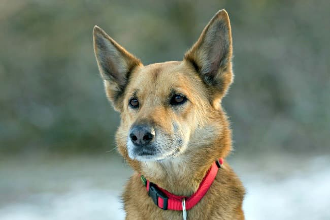 Head shot of adult mixed breed dog wearing red collar