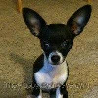 Black & white Chihuahua puppy Mojo