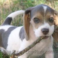 Molly the Beagle pu