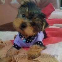 Moshi the Yorkshire Terrier
