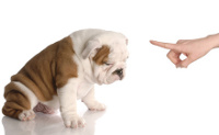 naughty little english bulldog pupp