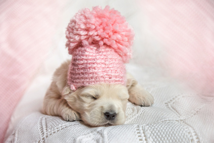 Newborn Golden Retriever puppy