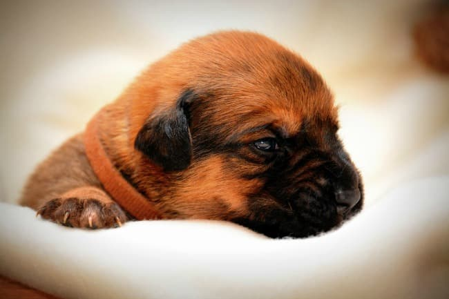 Very young puppy in soft blanket