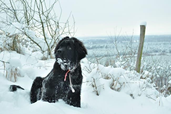 Black Newfoundland puppy on snowy hillside