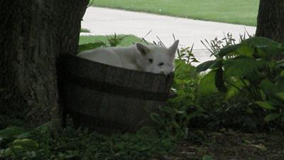 white german shepherd dog taking a nap