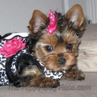 Baby Yorkie puppy's first outfit